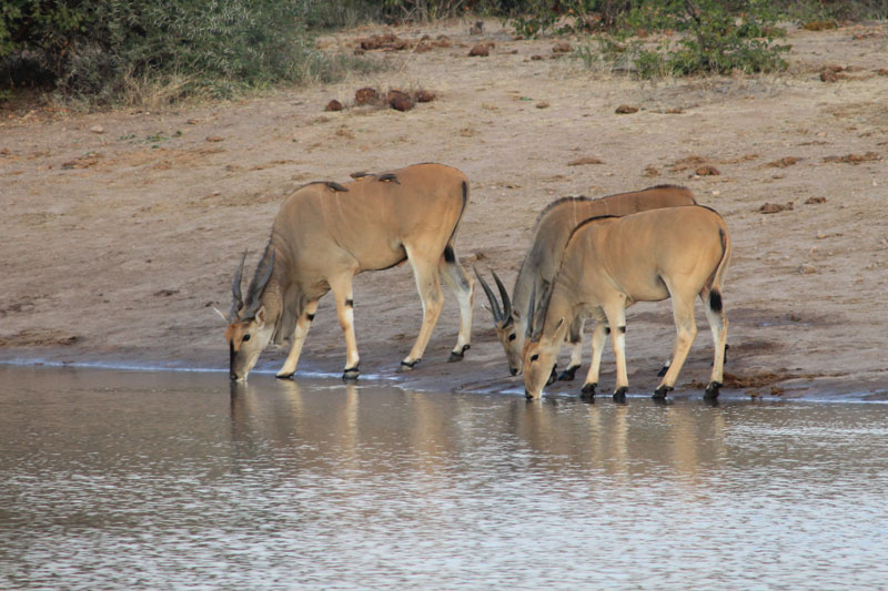 Elands du Cap, les plus grosses antilopes africaines