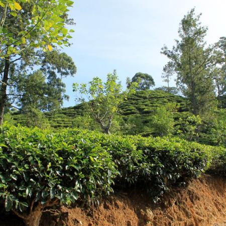 Little Adam's Peak- Plantations de thé