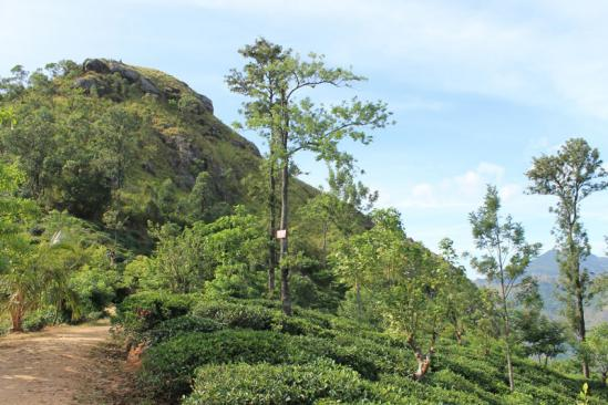 Little Adam's Peak - Plantations de thé